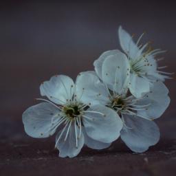 flower macro nature white