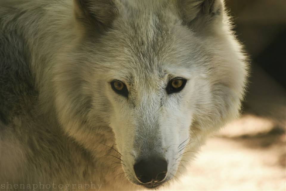 """""""Whenever you find yourself on the side of the majority, it is time to pause and reflect."""" -Mark Twain 💭  #wolf #quotesandsayings #nature #petsandanimals #nature #dramaeffect#freetoedit"""