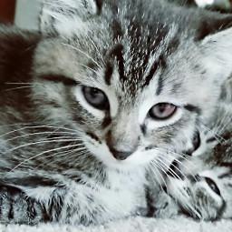 freetoedit kitten petsandanimals