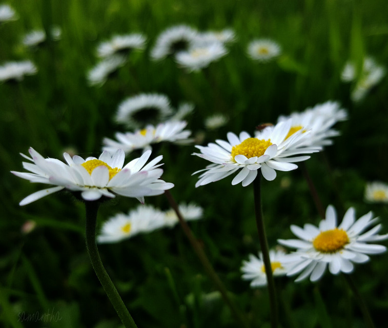 #daisy #flower #nature #photography