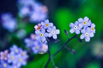 niezapominajki poland nikon nikond90 flowers