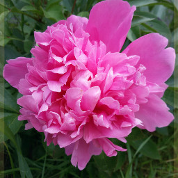 photography nature flower peonies