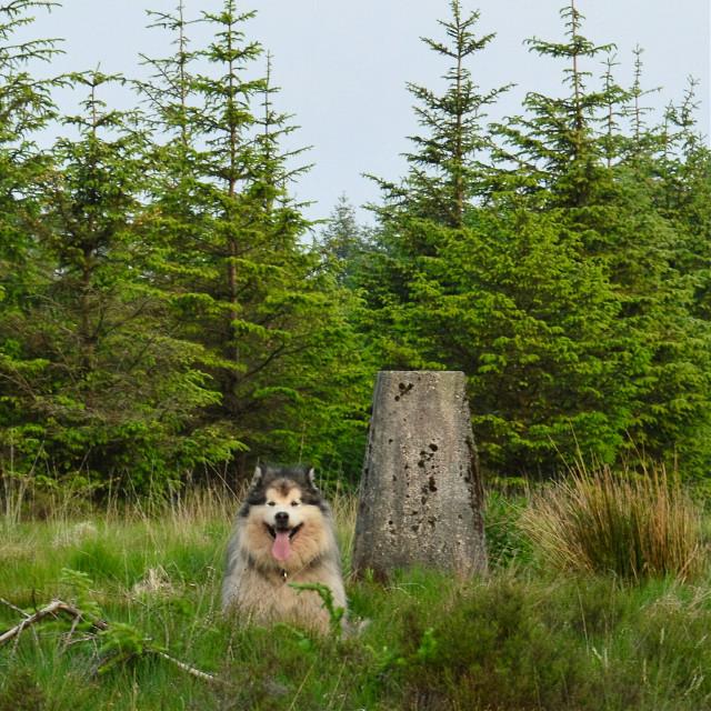 #marleythemalamute #malamute #mountain  #woodlands #woods #wales  #nature  #petsandanimals #photography #pets