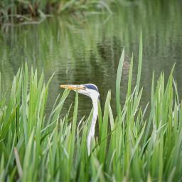 nature heron bird pond hideandseek
