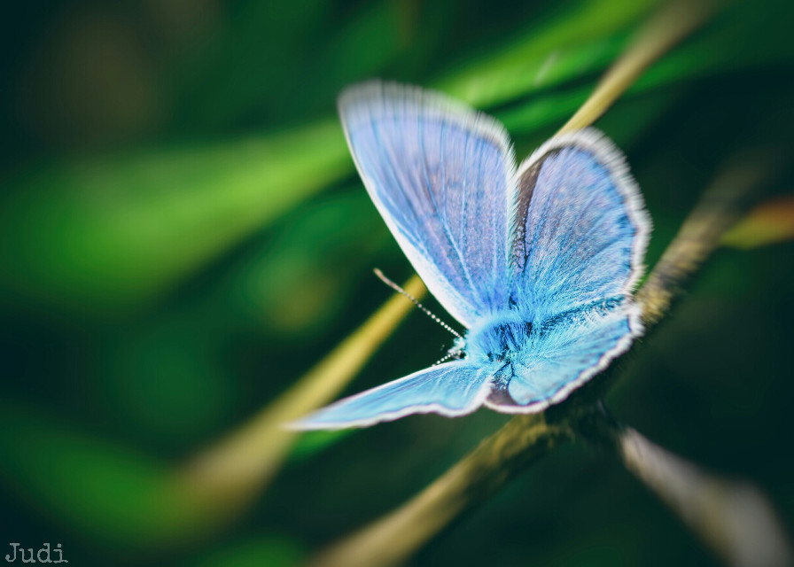 Good morning world,  Good Morning friends 😊! Have a great day everybody!    #nature #petsandanimals  #macro #closeup  #butterfly  #blue  #green