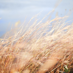 freetoedit reed nature wind grass