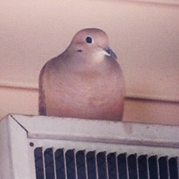 dove bird nesting myphotography summer freetoedit