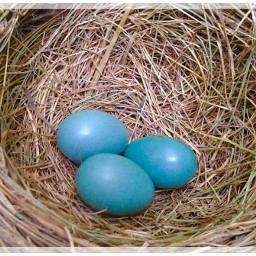 robinseggs nature nesting photography newlife