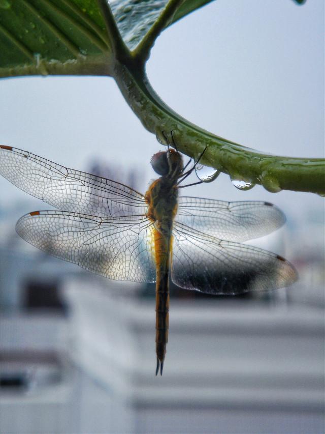 雨後,露台上的滴水觀音一隻蜻蜓在歇息。