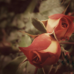 roses flowers garden vintage nature