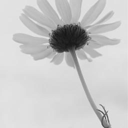 quotes flower blackandwhite nature music