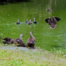 ducks lake peace peaceful country freetoedit