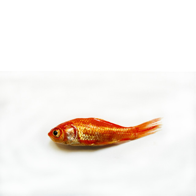 #FreeToEdit  #simple #Orange #fish