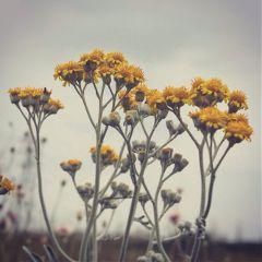 freetoedit flowers nature japan yellowflowers