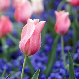 wppfloralcanvas tulips filoli