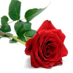 freetoedit rose redrose beautifulrose