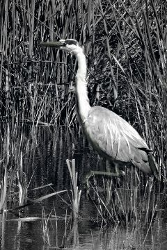 nettesdailyinspiration blackandwhitenature photography bird heron